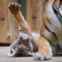 tygrata zoo praha intro